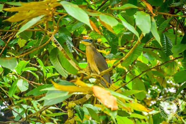 Boat Billed Heron in Sierpe
