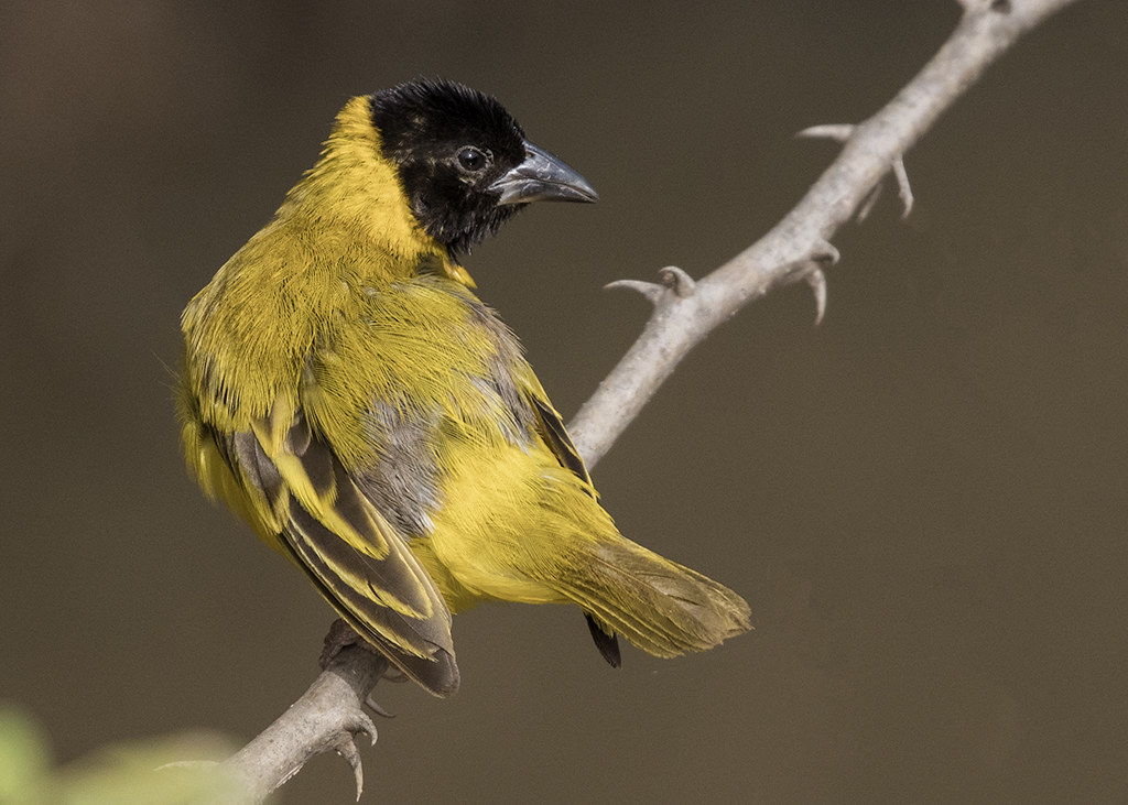 Black-headed Weaver   Gambia 2016