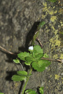 Pale Speedwell | by markhows