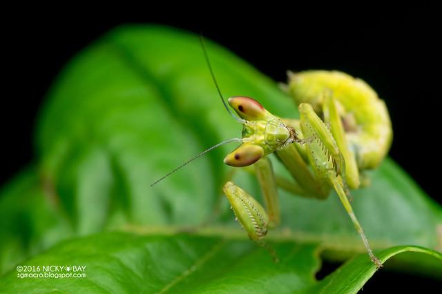 Mantis (Creobroter sp.) - PA120041