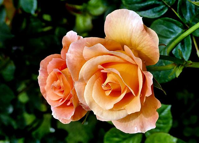Burma Star Rose.