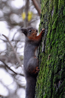 Squirrel | by Rolfen
