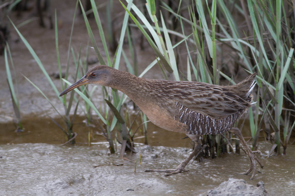Gulf Coast Clapper Rail