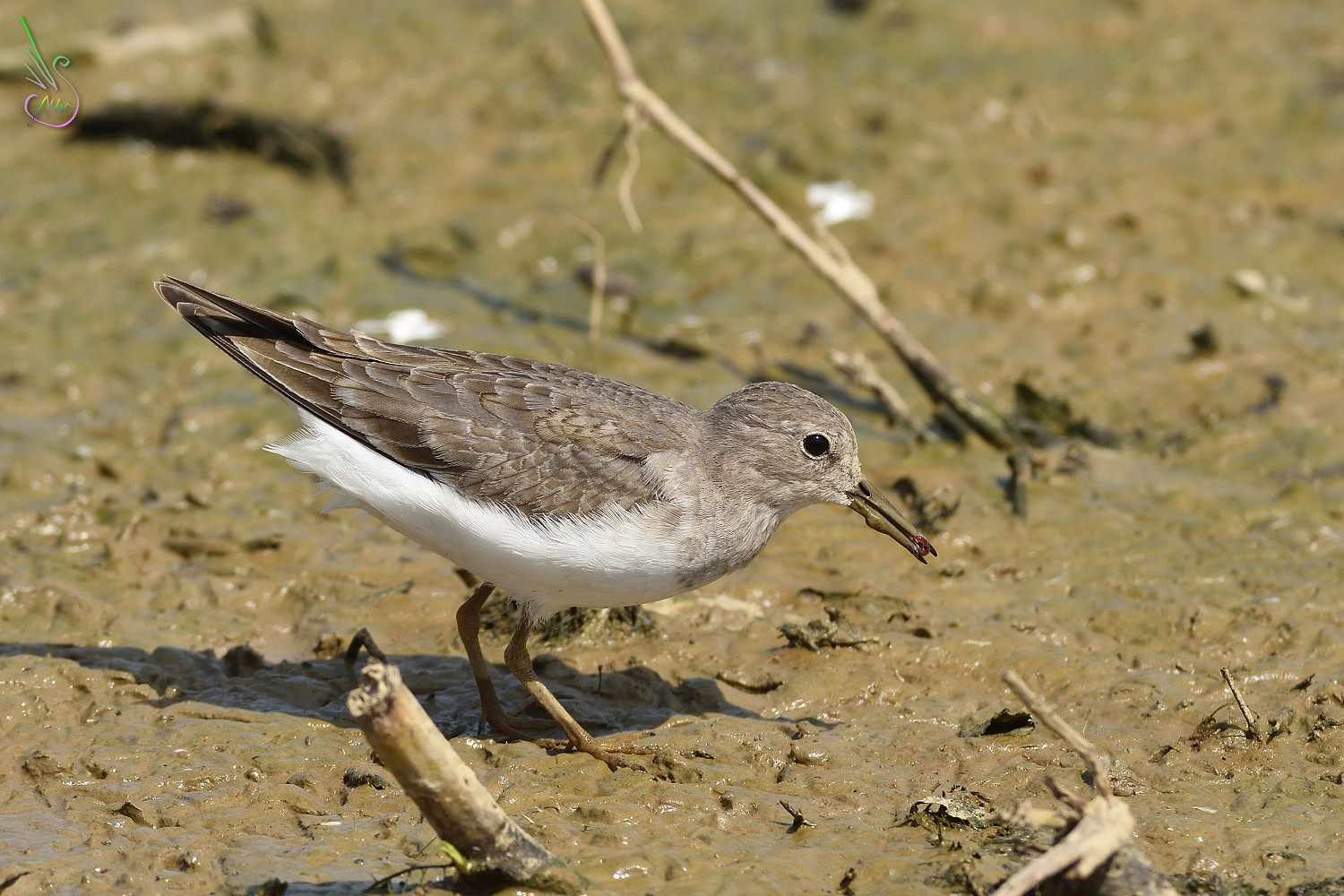 Temminck_Stint_0863