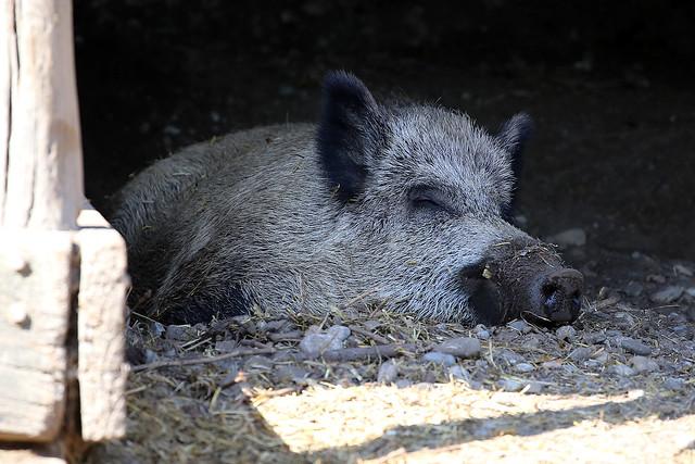 Wildschwein / wild boar (Sus scrofa scrofa)