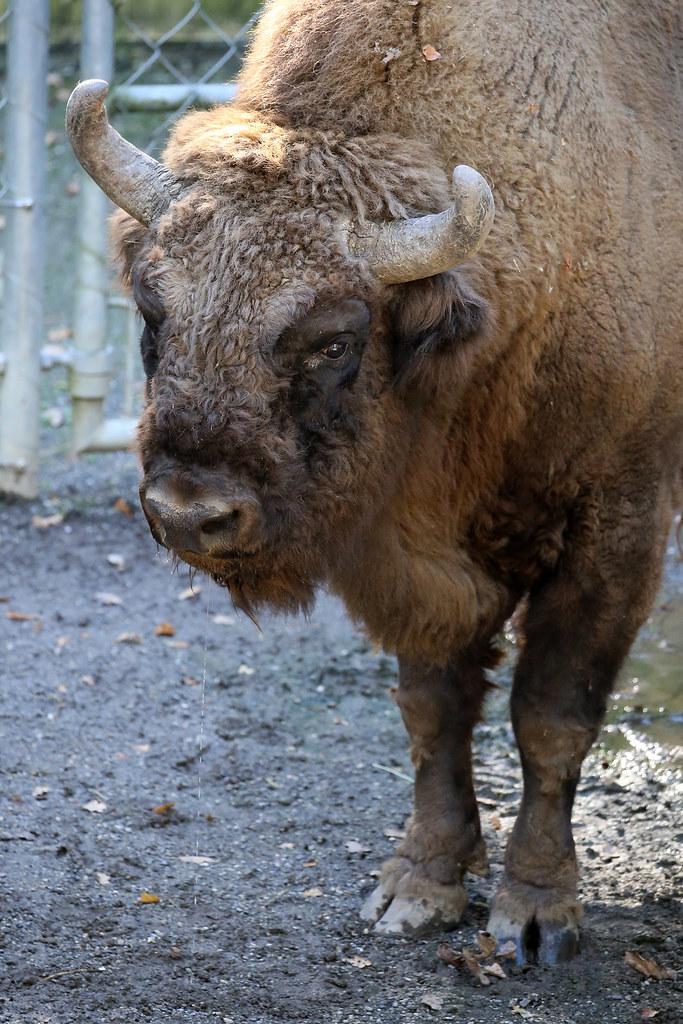 Wisent / Bison bonasus