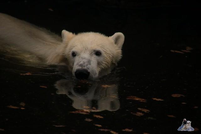 Eisbär Fiete im Zoo Rostock 05.11.2016 098