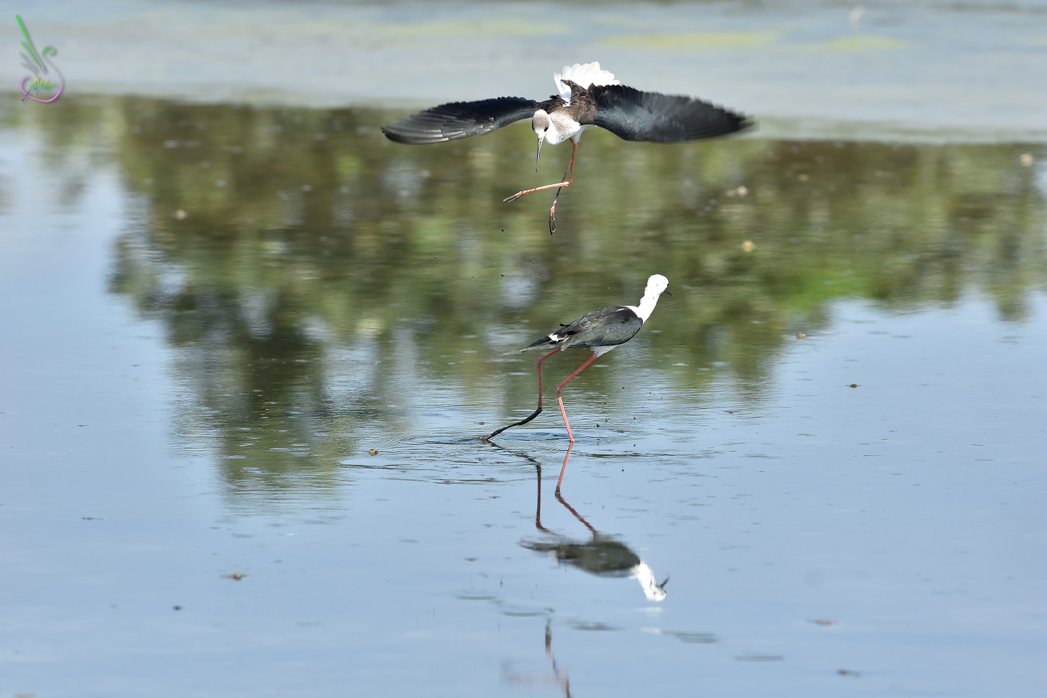 Black-winged_Stilt_1429