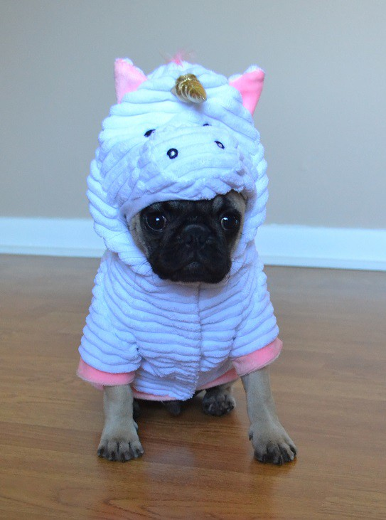 ... Boo The Unicorn Pug | by DaPuglet & Boo The Unicorn Pug | Boo The Pug | DaPuglet | Flickr