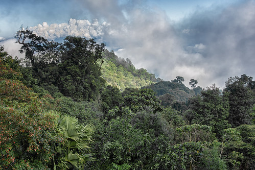 Hmong tropical forest