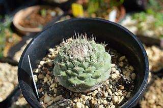 DSC_4006 Strombocactus disciformis ストロンボカクタス 菊水