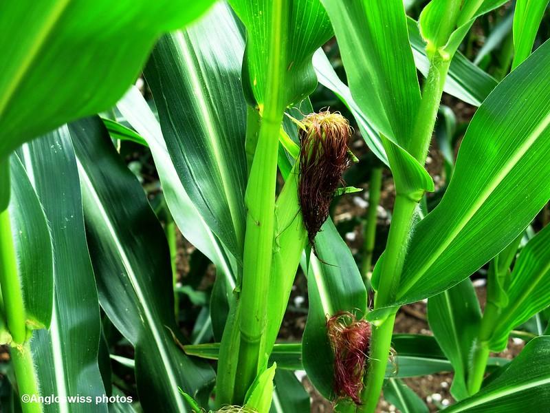 Ripening Maize