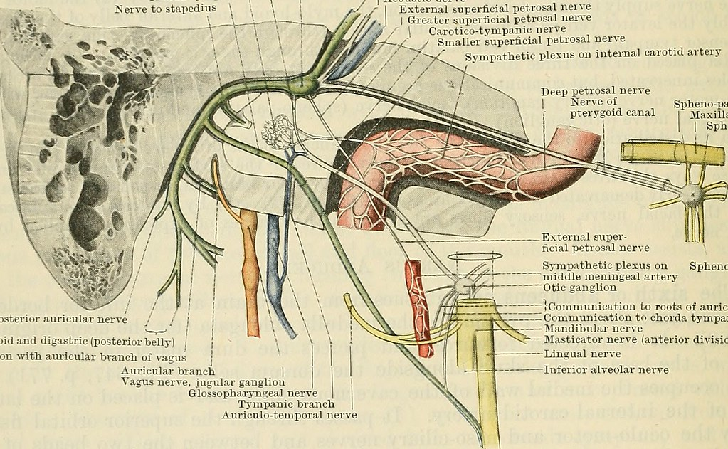 Image From Page 815 Of Cunninghams Text Book Of Anatomy Flickr