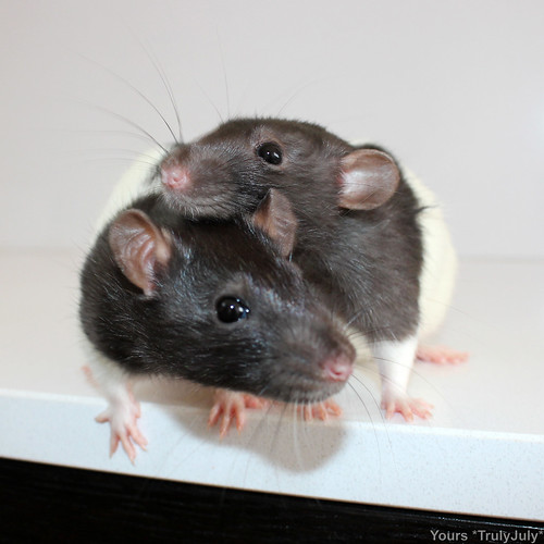 Rattie Sisters