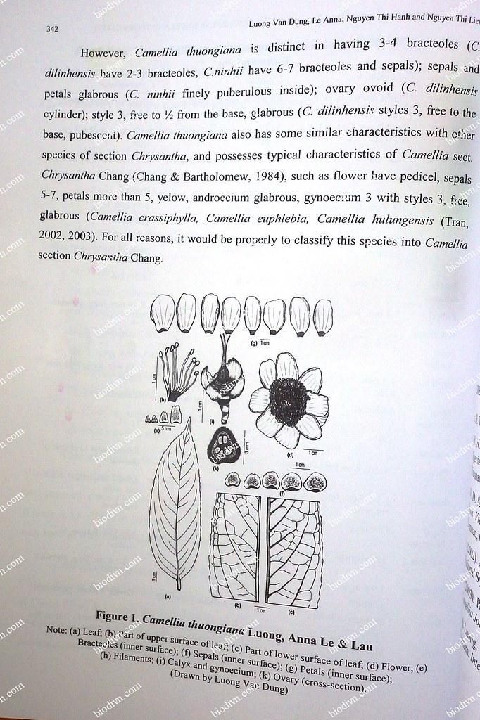 Camellia-thuongiana_2