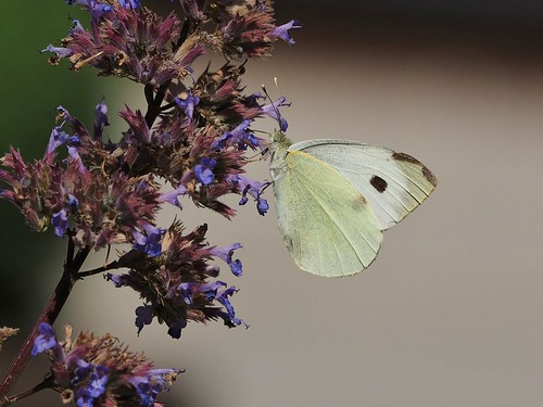 Female, Large White, Norfolk. | by cliffscrivens