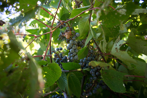 Wild Grapes | by goingslowly