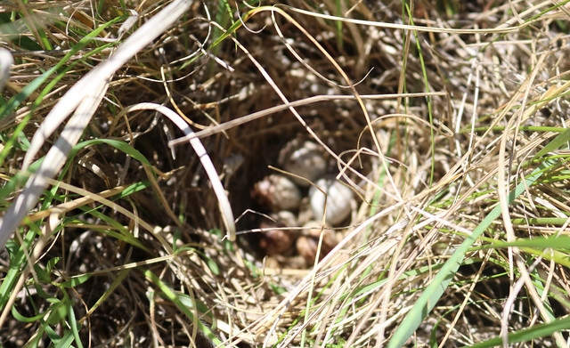 blurry image of a nest full of eggs, partly obscured by grasses