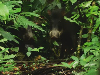 Wild pigs - Madidi National Park - Amazon forest - Bolivia | by pacoalfonso