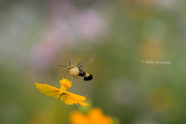 オオスカシバ(Pellucid hawk moth)