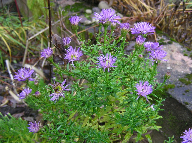 Very late autumn aster