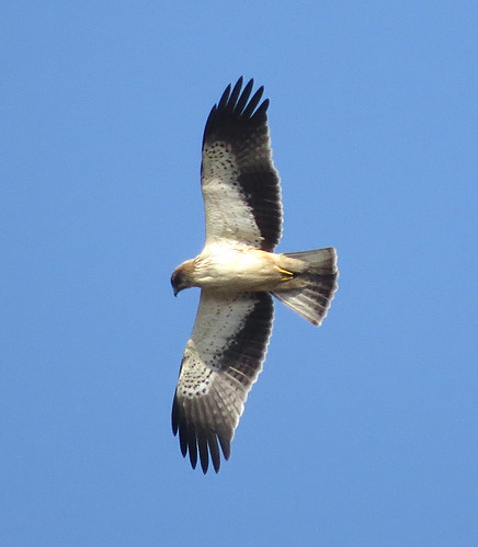 Booted Eagle Aquila pennata Sagres, Algarve November 2016