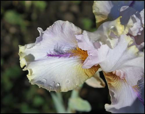 Iris 'Chamois d'Or' - Luc Bourdillon 2004 21028907829_fc49c02a3f