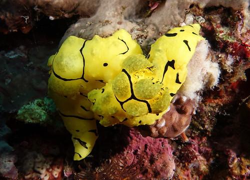 Mating Notodoris Minor - Tawali - Milne Bay PNG - 28th September 2015.
