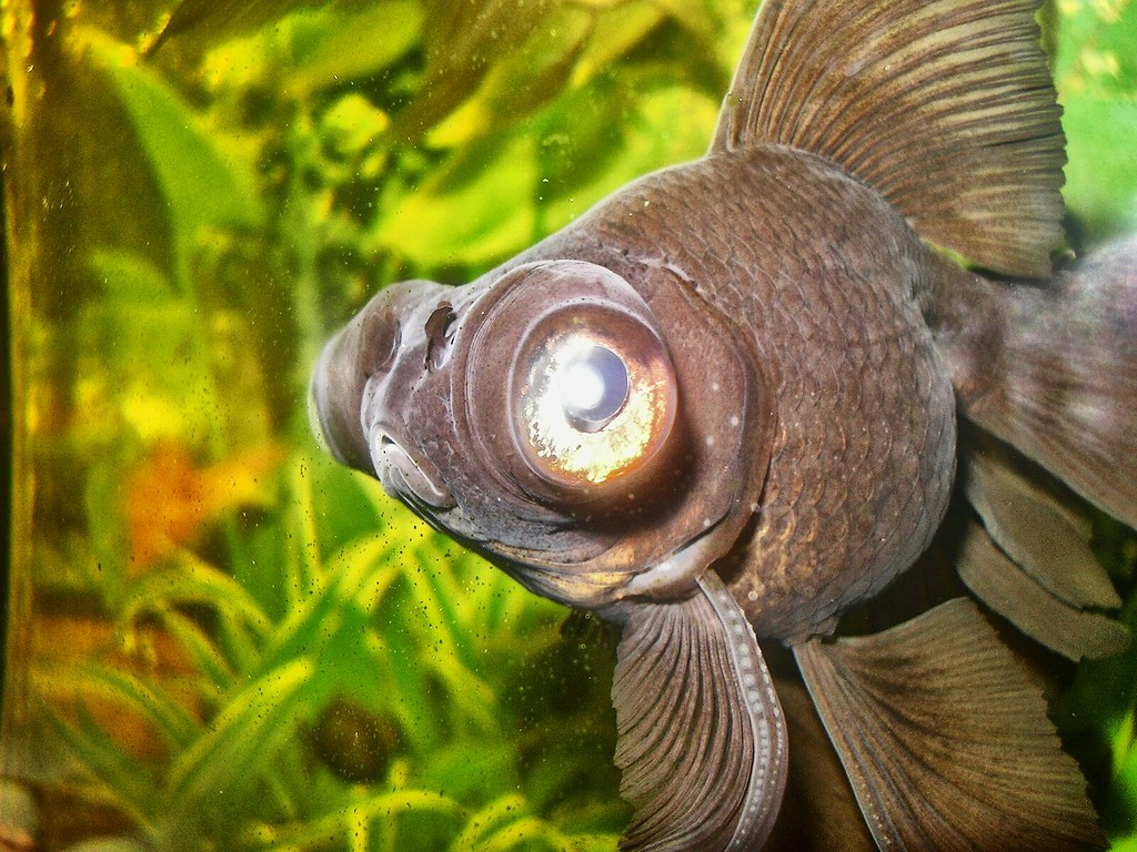 This amazing fish is a telescope