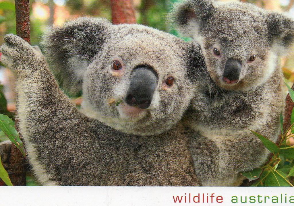 AU-505264 Koalas, Australia | Postcrossing Postcard ID: AU-5