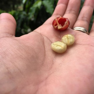 #kvphawaii Bean me! Picking coffee cherries at @OoFarm. Yellow fruit covered in sugary slime. NOM! | by queenkv