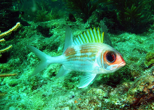 longspine squirrelfish usually hiding in the coral  key west sailing adventure | by keywestsailingadventure