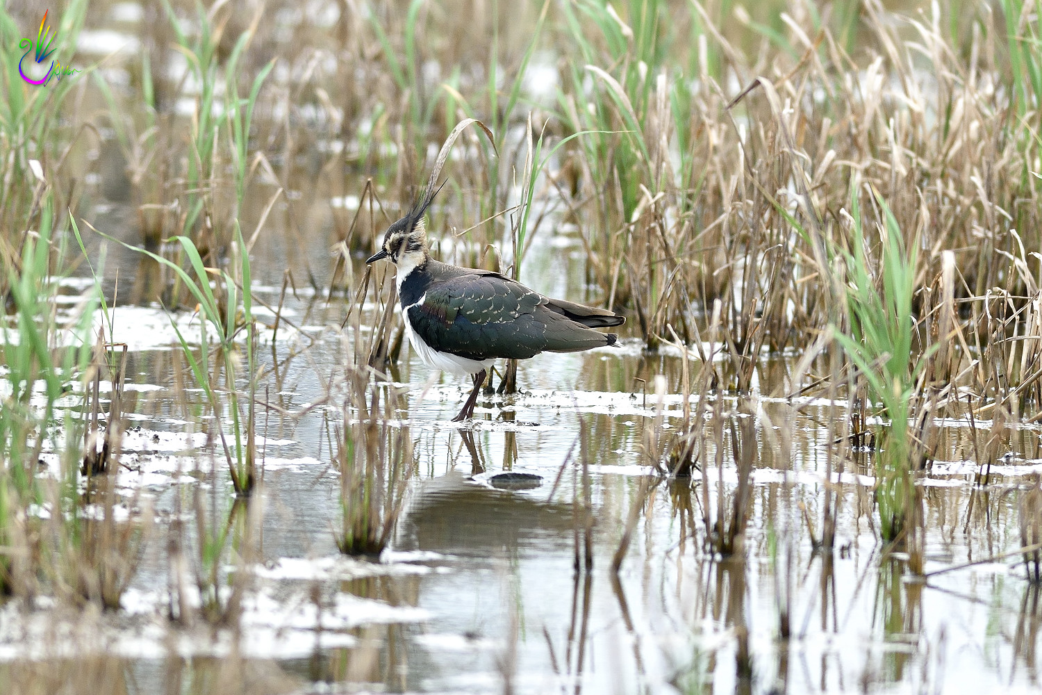 Northern_Lapwing_2536