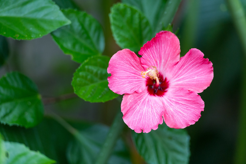 Pink tropical flower eric kilby flickr pink tropical flower by eric kilby mightylinksfo