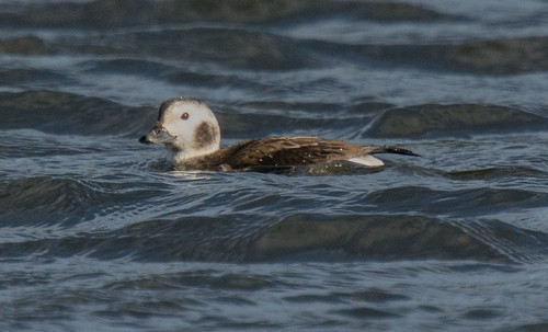 D461874 Long-tailed Duck | by Nick Sidle