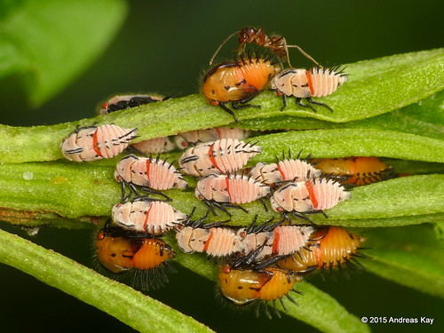 Treehopper nymphs
