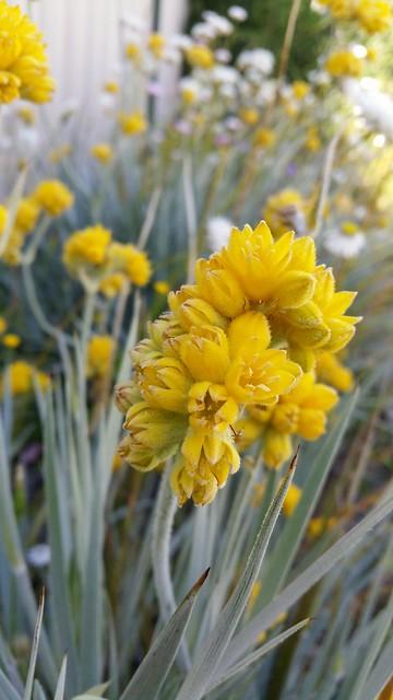 Conostylis candicans flower