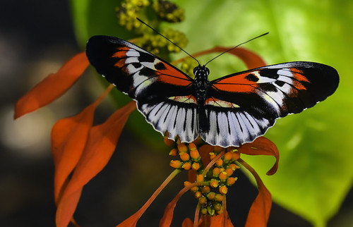 Piano Key Butterfly | by Charles Patrick Ewing