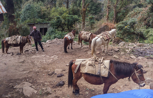 Pack ponies saddled up at Sachen for the final leg to Yuksom