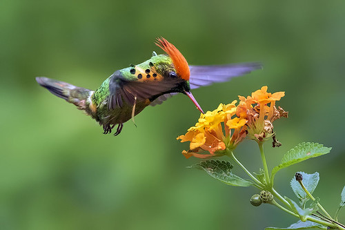Tufted Coquette Hummingbird ( Lophornis ornatus ) Nectarin ...