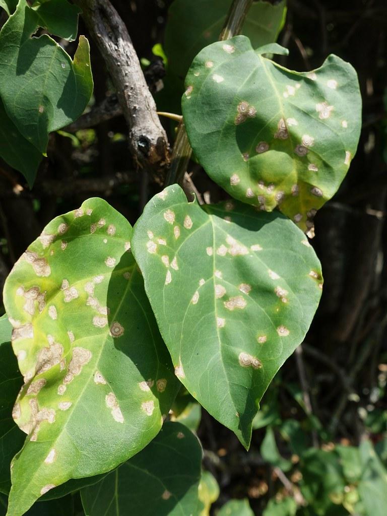 Bougainvillea: Leaf spot | Pathogen: Passalora bougainvillea… | Flickr