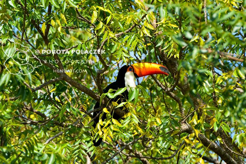 Toco toucan (Ramphastos toco)