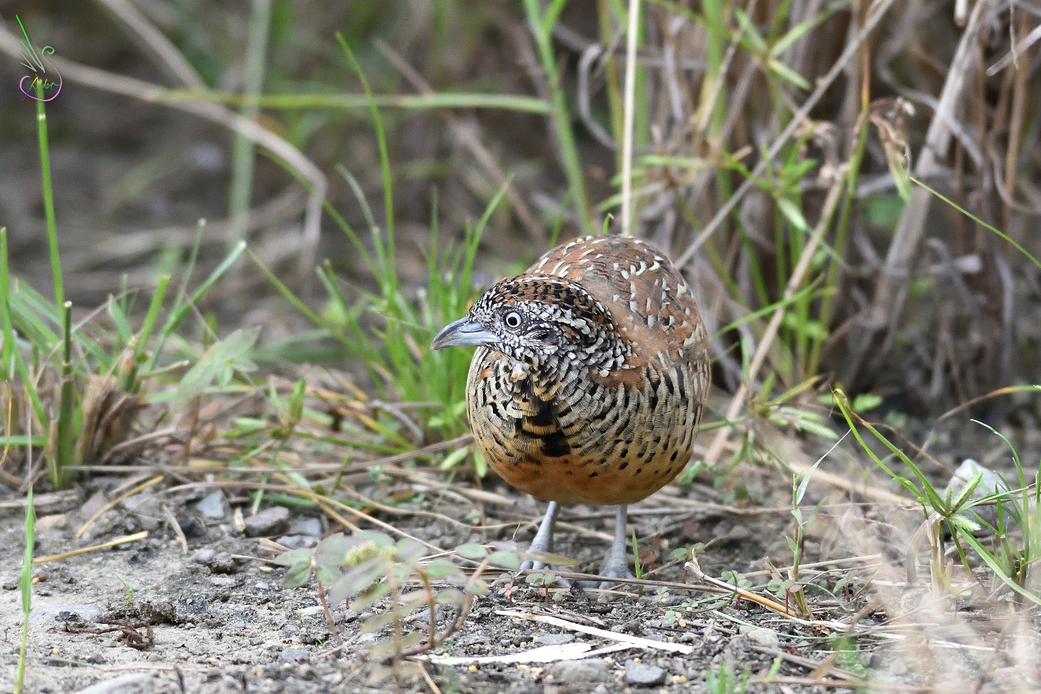 Barred_Buttonquail_1758