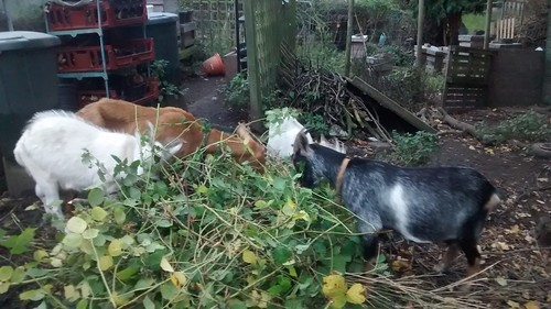 goats eating brambles Oct 16 1