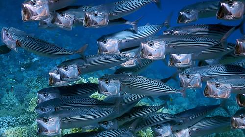 469.Striped Mackerel (Rastrelliger Kanagurta)