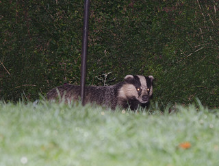 Badger | by markhows