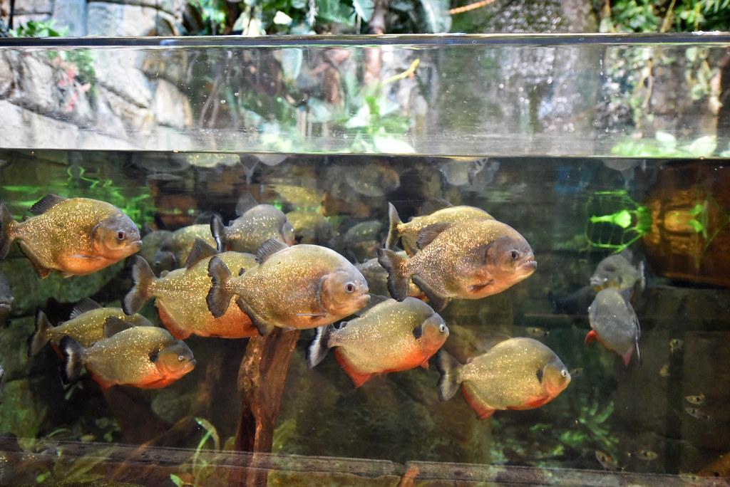 piranha at the shark reef aquarium at mandalay bay in las flickr