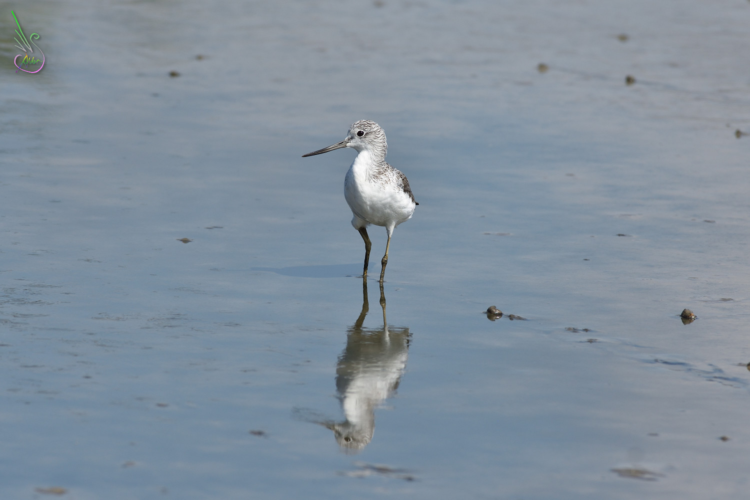 Common_Greenshank_1420