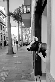 silly moo | puerto de la cruz | by John FotoHouse