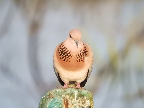 Laughing dove -Male | by balharsh